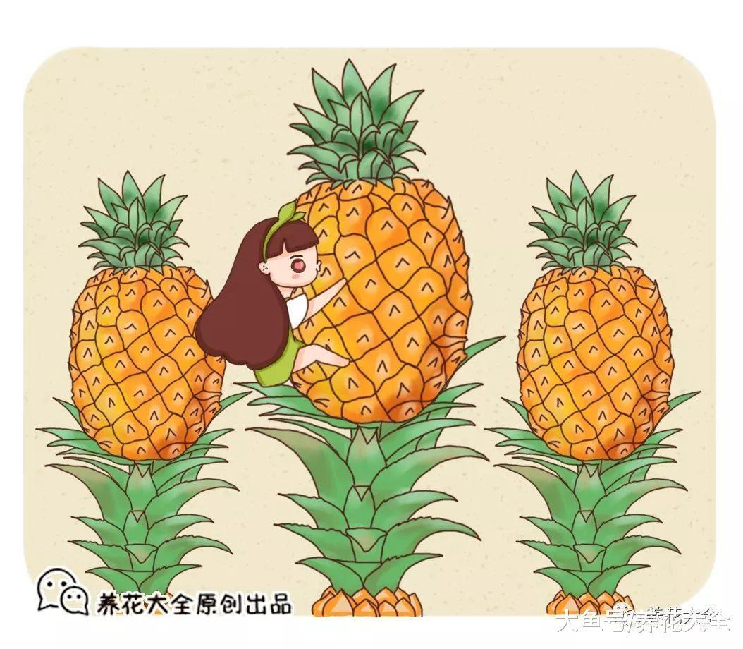 在家种菠萝, 做到这几点, 长出的果实又大又甜!