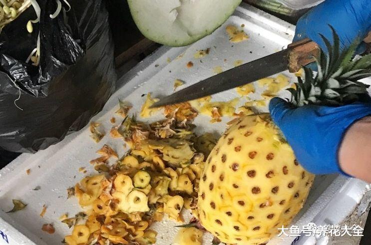 削完的菠萝皮千万别扔, 拿来做花肥, 植物用了越长越茂盛!