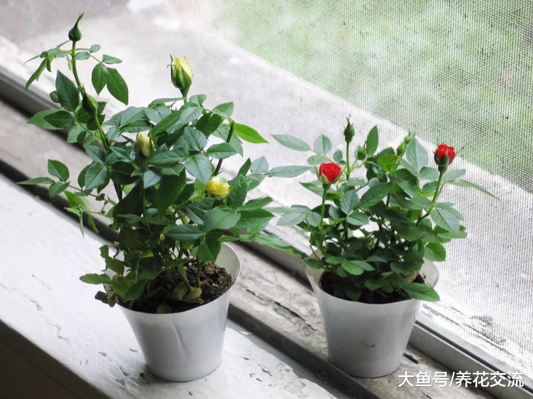 微型月季的养护技巧, 在阳台、窗台上也能不断开花