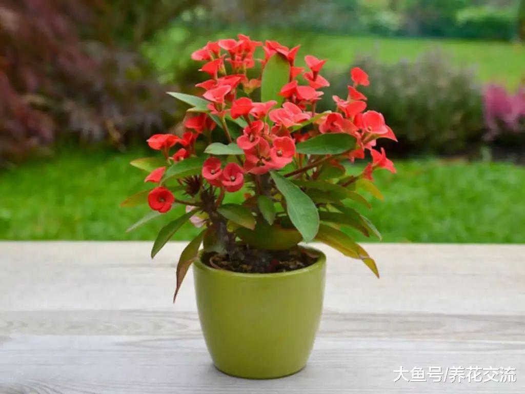 没想到用枝条扦插繁殖铁海棠这么容易, 养阳台上就能花开不断