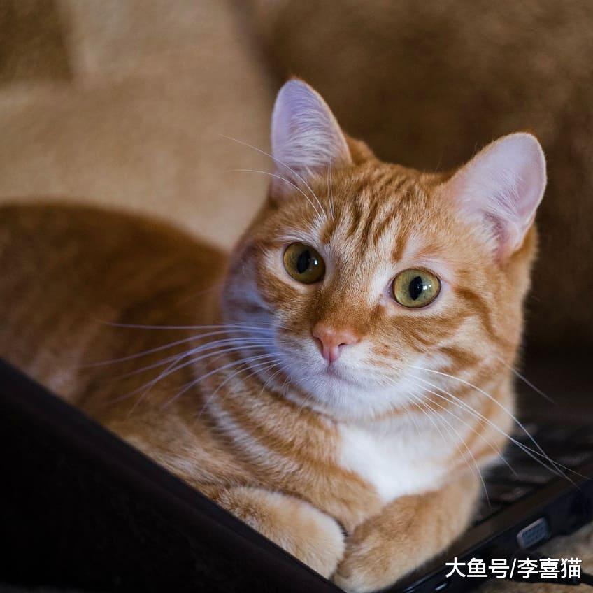 猫咪的本性都是吃货, 做完绝育手术如果不吃东西, 有这四个原因