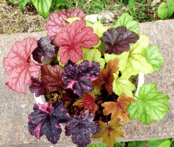 这花的叶子五颜六色, 关键还好养, 错过就可惜