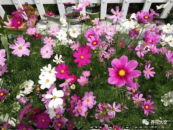 这9种菊花, 一到夏天爆成海, 越看越想养!