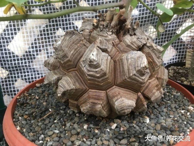 养龟甲龙盆栽特别有趣, 像是在龟壳上种爬藤植物