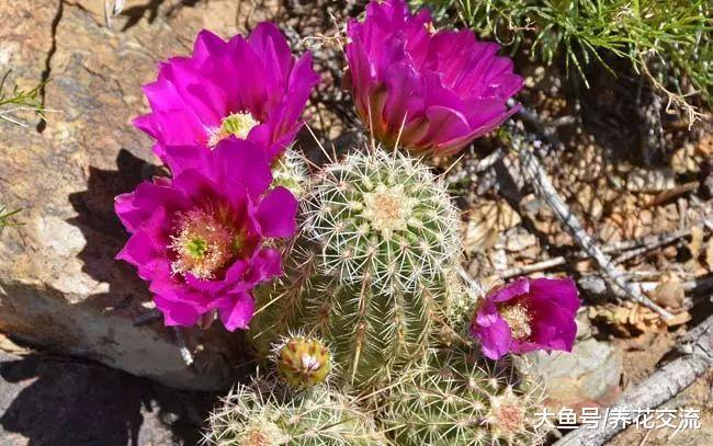 7种容易开花的仙人掌盆栽, 新手也能轻松养出好看的花朵