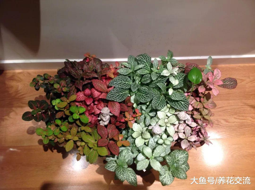 一天不浇水就容易蔫的盆栽植物, 经常把植物浇死的朋友可以养一盆