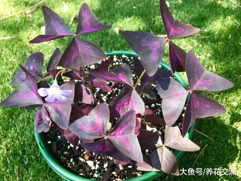 这种盆栽植物养在窗台, 看起来像是有一群蝴蝶在家里飞舞