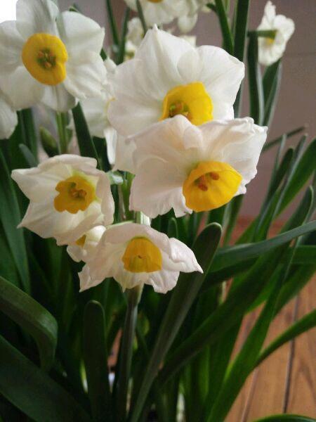 """入冬后养水仙, 这""""1步""""很关键, 切1刀, 过年就开花, 很漂亮"""