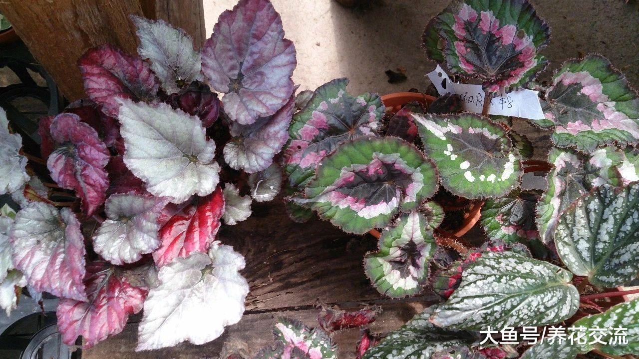 没想到秋海棠的观叶品种这么好看, 耐阴效果还这么棒