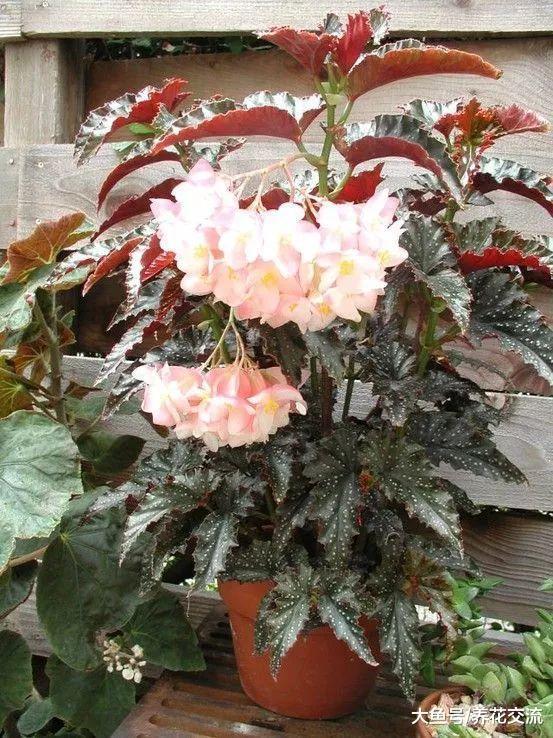 花朵非常少女的天使翼秋海棠, 养窗台边就能不断开花