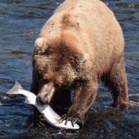 熊熊爱吃鱼