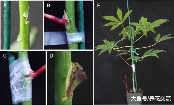 植物花卉嫁接需要用到的几个技巧, 新手也能轻松学会