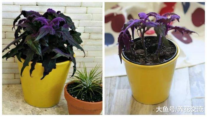 特别浪漫的紫鹅绒盆栽, 剪断枝条插水里或土里两三周就能生根发芽