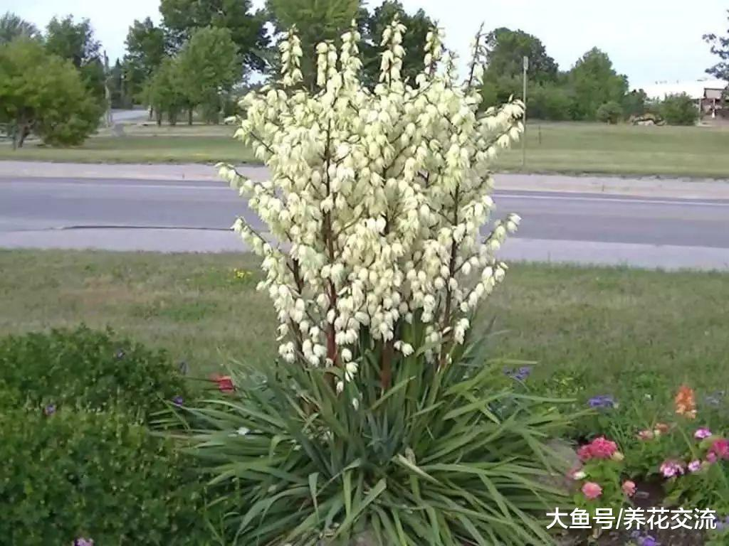 让家里的丝兰开花的5个秘诀, 一串串铃铛般的白花太好看了