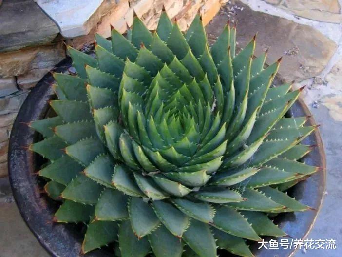 芦荟女王用这些技巧就能在盆栽里养得很好, 还能开出鲜艳的花朵