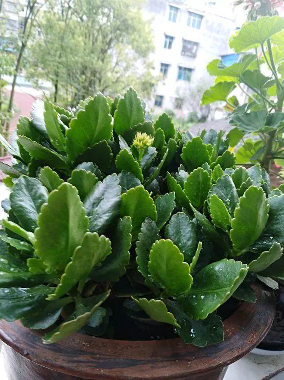 80岁老妈养长寿, 叶子肥厚像白菜, 开花太凶猛了!