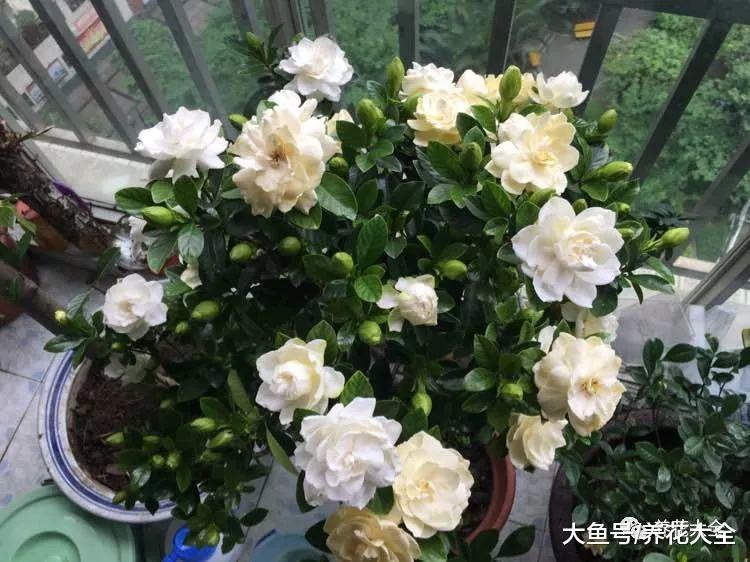栀子花这样来浇水, 不仅叶子长得好, 花也能开不停!