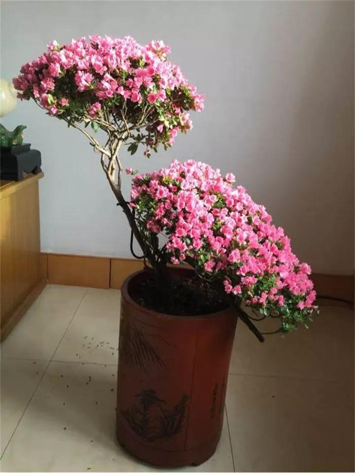 他家的杜鹃, 盆里掺了点它, 花开的比叶还多!