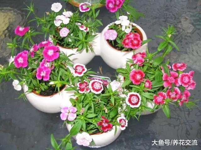5种可以常年开花的盆栽花卉, 花朵艳丽, 播种繁殖特别简单
