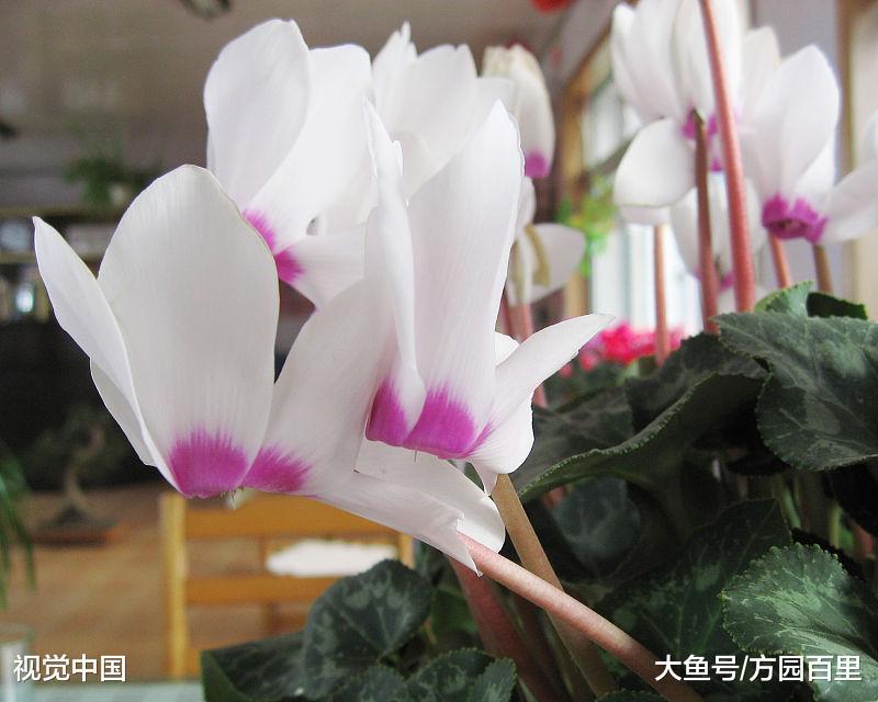 高贵优雅的冬季花卉――仙客来