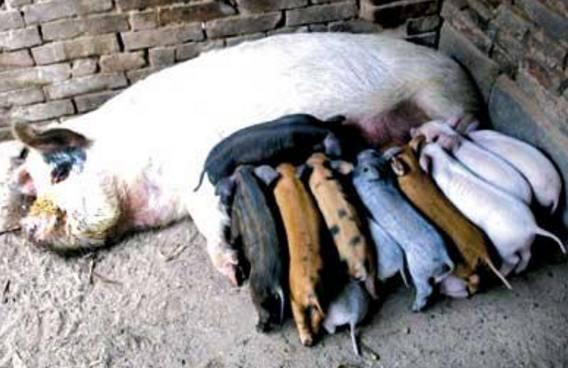 家里没有公猪,母猪竟意外怀孕了,主人完全不知情