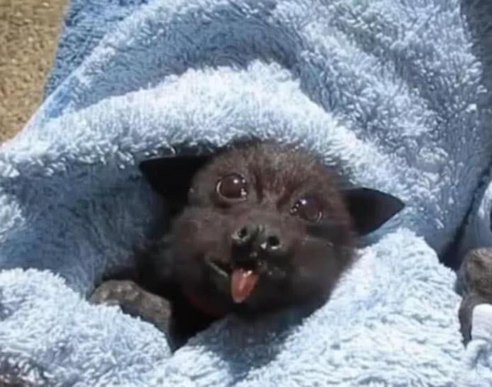 被撞伤的蝙蝠宝宝因祸得福, 吃上最爱的香蕉, 下一刻大家却傻眼了