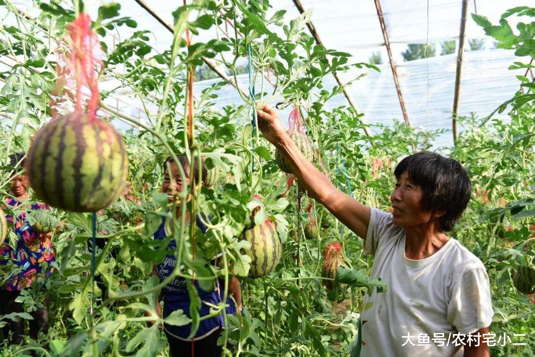 """湖南大哥种出""""悬空""""西瓜,比传统产量高12倍,一斤能卖5块钱"""