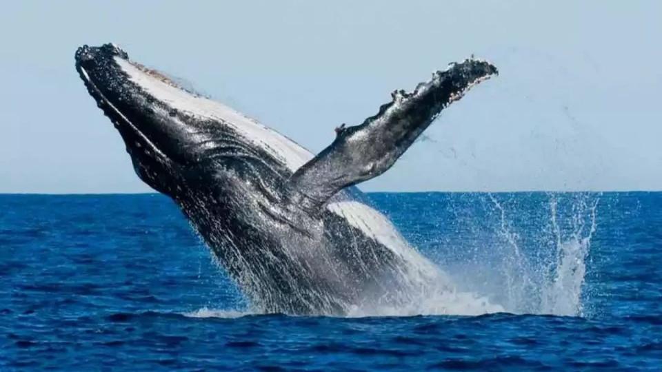 地球现在最大的生物都是哪些呢?最大真菌比蓝鲸重4倍