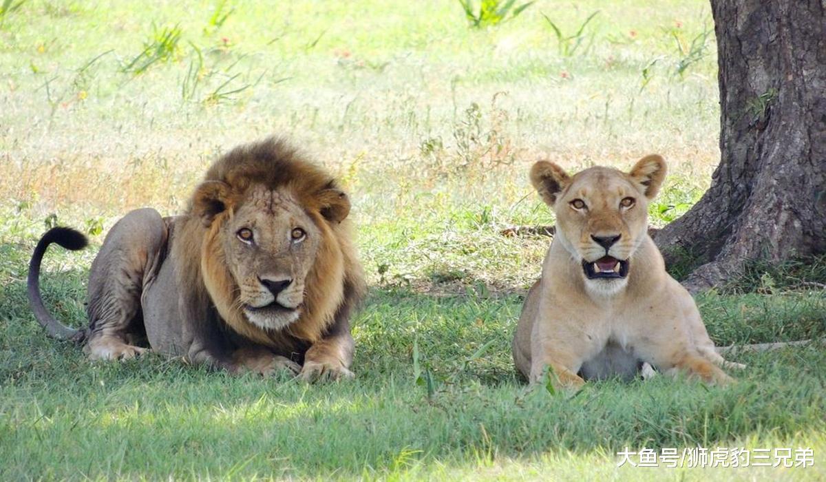山君有哪些先天上风,是狮子不具备的?狮虎斗哪边胜算较年夜?