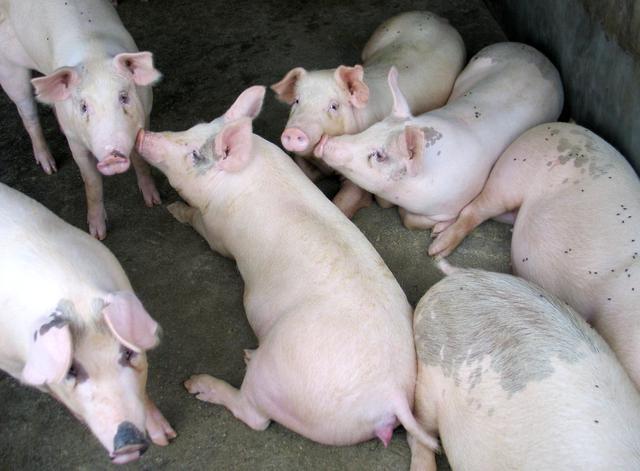 """生猪产能""""双增"""",猪肉又能降价了?10元肉何时能吃到?答案来了"""