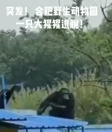 黑豹突击队出击!合肥脱逃的大猩猩已被控制