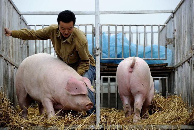 """1月1日猪价""""暴涨"""",会上涨的开始还是昙花一现?专家的答案来了"""