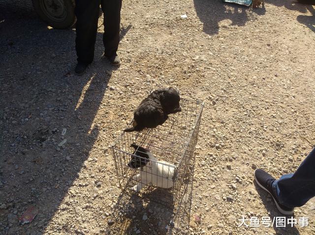 在狗市, 只要30元一只的中华田园幼犬, 为何半天无人采办?