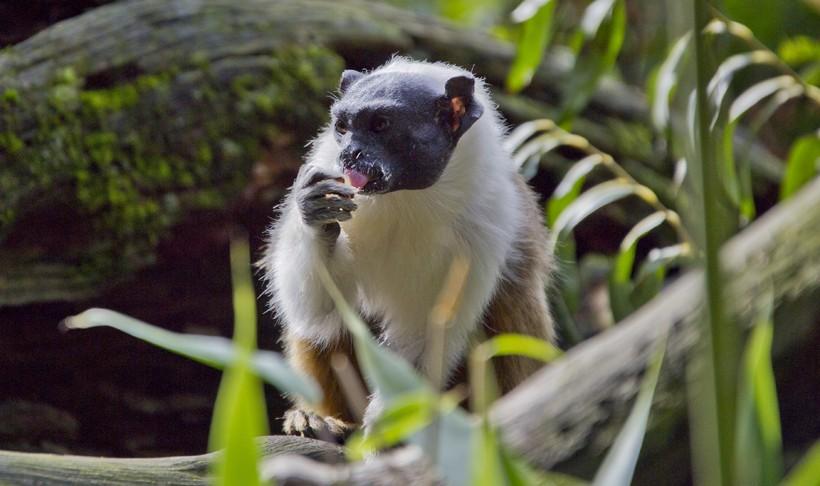 动物世界,黑白柽柳猴,生活在亚马逊的热带季节性森林中