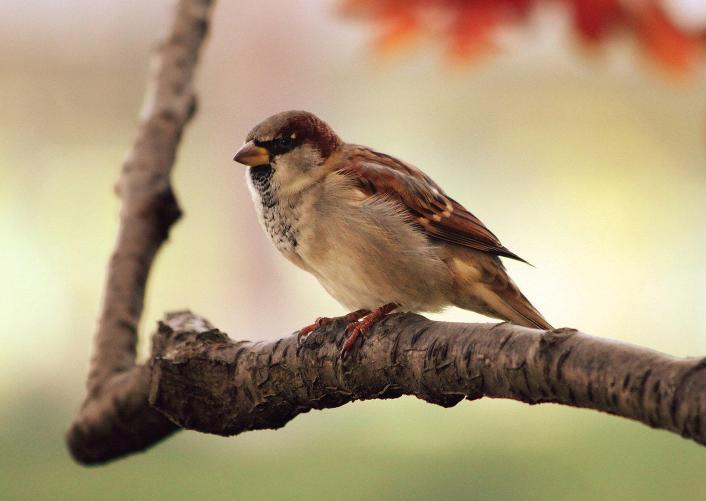 为什么乡村山上的麻雀,越去越多了呢?