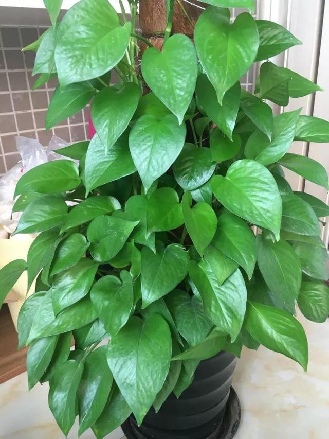 """养绿萝吊兰, """"离不开""""这种小颗粒, 1月加一点, 叶子油绿、翠亮"""