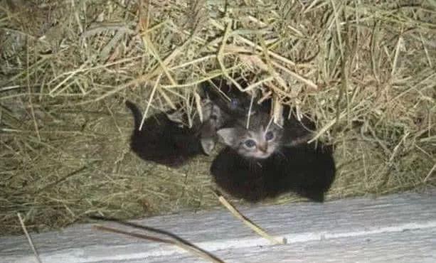 母鸡整天在鸡窝里呆着却没看到下蛋,原来它是在帮助猫妈妈?