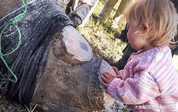 目击犀牛被父亲锯失落角,3岁女童冲上前亲吻其伤心很疼爱