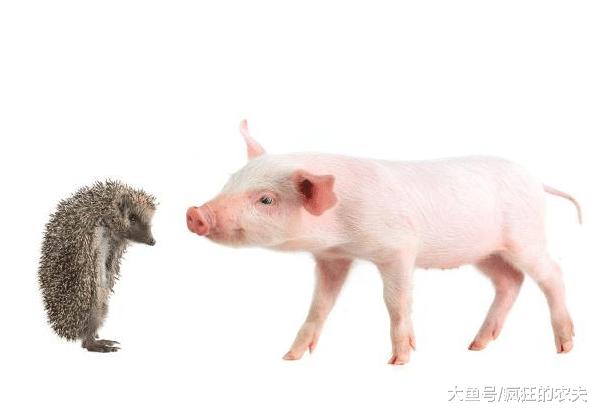 猪价迎四连涨,为何猪价突然猛涨?会涨到20元每斤吗?答案来了