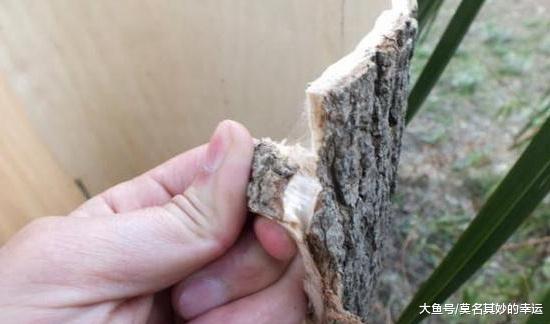 爷爷家那片树林,靠割树皮、卖树叶年进十万,那的确是钱树子啊!