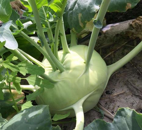 """那个圆圆的小器械,营养代价媲好""""葵菜"""",不只廉价抗癌效果也异常好"""