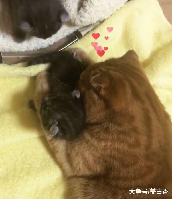 猫咪喜当爹,对小奶猫爱不忍释,猫妈:滚开,毛都快让你舔掉没了