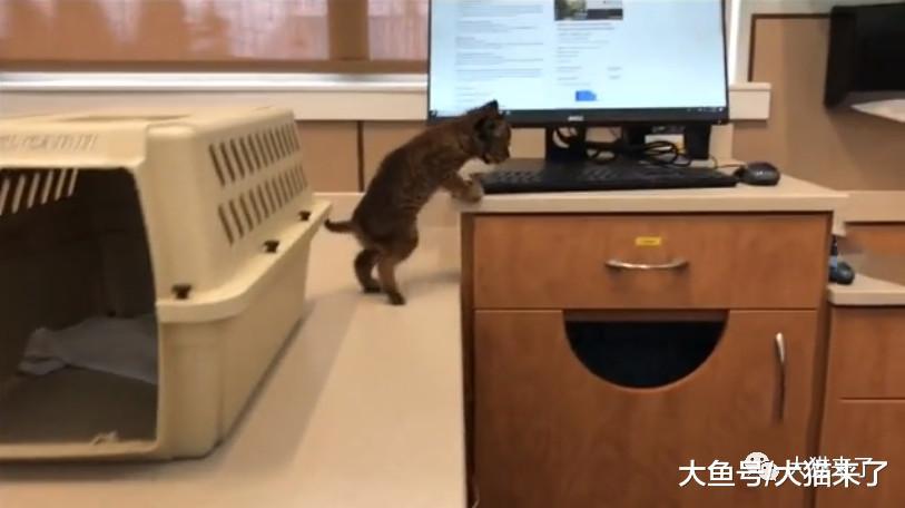 """孤儿""""小猫崽""""向人求助,听到叫声才知道它根本不是一只普通家猫"""