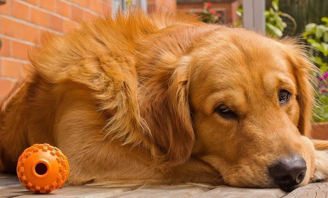 """若是您家狗狗倏忽有以下5种显示, 能够申明, 它最先""""恨""""您了!"""
