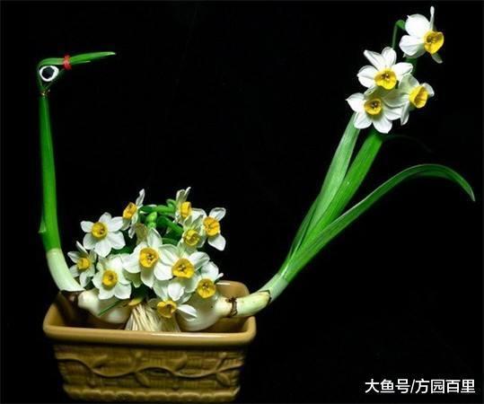 自从知道水仙花的雕刻之后, 再也不愁咱家的水仙花不好看了