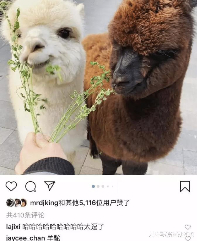 """王思聪""""斥巨资""""购鸭子,羊驼也养了两只,网友:开植物园吗?"""