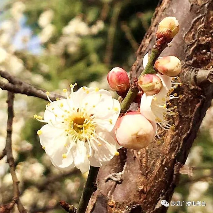 涉县游记:初春赏花这里去