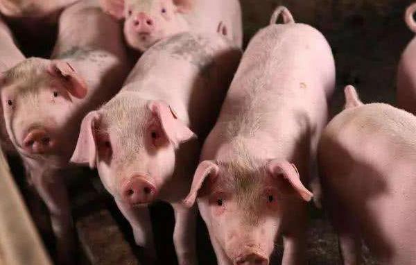 4日猪价全线飘红,广东再达20元!春节前大概率还会涨,啥原因?