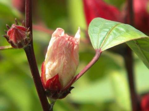 洛神花——女神之花,植物界的红宝石