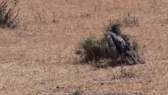 受伤的老鹰能否斗得过羚羊?没想到演技流老鹰把羚羊硬生生吓走